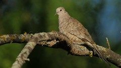 2016-05-16 P9020308 Back from Texas!    Inca Dove in the last light of the evening (Tara Tanaka Digiscoped Photography) Tags: trees sunset bird texas outdoor dove birding 4k whitewinged digiscoped incadove gh4 mirrorless digidapter swarovskistx85