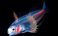 La Evolucin favorece la bioluminiscencia (montro's head) Tags: animales criaturas defensa comunicacion evolucion marinos camuflaje bioluminiscencia