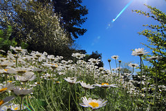 I see skies of blue .... (Idreamofpies) Tags: flowers blue sky plants sun green gardens daisies canon petals spring cheshire stems daisy blooms ness wirral idreamofpiesphotography