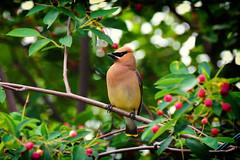 Caught my eye (DHaug) Tags: ontario bird june berries feeding bokeh fujifilm perched bohemian waxwing bombycillagarrulus 2016 greely xpro2 xf100400mmf4556rlmoiswr xf100400