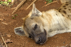 Leave me alone, I want to sleep (Kev Gregory (General)) Tags: sun city kev gregory safari sigma 50500 africa african holiday hotel cascades palace lost resort rustenburg north west pilanesberg national park province luxury south complex elands river casino game reserve golf course sol kerzner international bantustan bophuthatswana snoozing hyena ukutula lodge lion brits