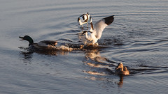 Water Fight (Hkan Dahlstrm) Tags: birds photography se skne sweden cropped skanr 2016 f32 skneln ef200mmf28lusm canoneos5dmarkii 1640sek skanrmedfalsterbo 19204062016204045