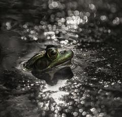 froggie bokeh dreams (marianna - away for a while) Tags: light macro green eye sparkles bokeh frog ear selective mariannaarmata p2410125