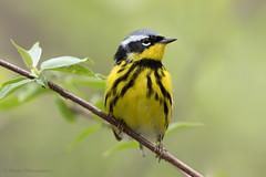 Magnolia Warbler (Photosequence) Tags: spring bokeh warbler songbird passeriformes woodwarbler