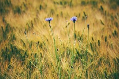 daydreaming (***toile filante***) Tags: flowers summer cornfield sommer blumen dreaming daydream kornfeld cornflowers kornblumen trumen tagtraum