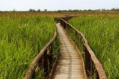 path in the green (explored) (lotti roberto) Tags: massaciuccoli toscana tuscany oasi lipu palude green path sentiero fav25 fav50 fav75 fav100 fav125 fav150 fav175 fav200 fav225 fav250 fav275
