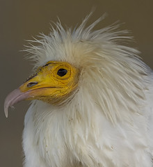 No............ it's not Rod Stewart (ORIONSM) Tags: portrait bird eye nature beak feathers egyptian prey vulture plume icbp sigma150500 pentaxk3 infinitexposure