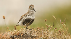 Marching up to the top of the hill. (Sandra Standbridge.) Tags: bird animal scotland outdoor hill grasses dunlin calidrisalpina northuist wildandfree