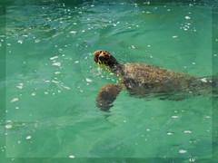 Tortuga Carey (Alex_usk) Tags: blue sea azul mar samsung rivieramaya tortuga marcaribe caribe alejandro89msncom