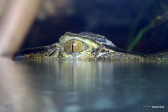 Eye see you Alligator (beachkat1) Tags: reflection eye reptile alligator riverbankszoo supershot