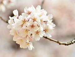 Sakura on a sunny day (potatolovertwo) Tags: flowers nature japan cherry tokyo spring nikon blossoms sakura nikkor hanami d7000