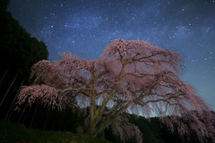 Old Cherry Blossom Galaxy (masahiro miyasaka) Tags: flowers blue light sky flower tree nature beautiful japan night canon stars landscape iso3200 star fisheye galaxy astrophotography cherryblossom  wallpapers  lonelytree oneshot milkyway  startrail earthandsky 14mm  samyang