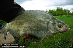 Bream - Abramis brama (puffinbytes) Tags: greatbritain england animals unitedkingdom carps bream essex animalia minnows cyprinidae cypriniformes chordates chordata actinopterygii rayfinnedfishes abramis abramisbrama taxonomy:kingdom=animalia taxonomy:phylum=chordata taxonomy:class=actinopterygii taxonomy:family=cyprinidae taxonomy:order=cypriniformes leuciscinae spb:lid=00an spb:country=uk spb:id=01f5 spb:species=abramisbrama spb:pty=f taxonomy:subfamily=leuciscinae taxonomy:genus=abramis taxonomy:species=brama taxonomy:binomial=abramisbrama taxonomy:common=bream spb:pid=0kde