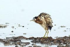Tarabuso (giansacca) Tags: birds animals aves uccelli animaux animali vogel oiseaux greatbittern botaurusstellaris rohrdommel eurasianbittern tarabuso butortoil avetorocomn