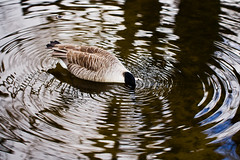 He makes his own whirlpool. (DikkeBiggie) Tags: vortex water animal canon circles 100mm goose gans whirlpool waters canadiangoose dier f28 whirl kringen canadesegans draaikolk canonnl dgawc