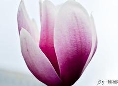 Magnolia soulangeana ( Nana) Tags: life flowers light plant flower green love beautiful nikon colorful natural taiwan magnolia lovely  taiwan i soulangeana  d7000