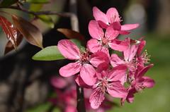 fiori di melo a torino (solonanda non c'è più) Tags: pink flowers primavera nature spring rosa natura fiori fioridimelo mamasbloomers silveramazingdetails musictomyeyeslevel1