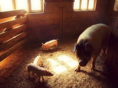Three Little Pigs (Piscesgirl2~) Tags: farm light sun windows piglets pigs babies cute adorable ontario canada nature olympus photography esenciadelanaturaleza abigfave