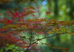 Japanese Maple (Mark Chandler Photography) Tags: trees red color tree nature gardens canon ga georgia photography photo maple dof bokeh japanesemaple 7d kennesaw markchandler smithgilbertgardens