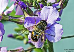 Honey Bee (P_Kingman) Tags: flower nature outdoors lumix purple panasonic upclose dmc fz150