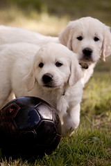let the games begin (in-dependence) Tags: dog canon germany puppy stars golden football euro soccer europameisterschaft poland retriever tournament independence uefa 2012 whelps 5dmarkii