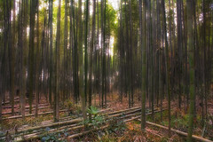 "Giving up (""DJ"" Villanueva) Tags: winter green japan forest kyoto december bamboo kyotoprefecture canon550d kissx4 dheej18 djvillanueva"