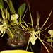 Brassia Rex - Debra Funakoshi