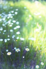 Autochrome daisies (mckenziemedia) Tags: flowers blur green field grass daisies 35mm canon eos dof bokeh mark f14 14 ii daisy 5d oof rokinon