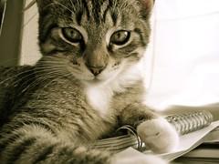 DSC06073.JPG (Davidshansen+) Tags: pet cute cat kat chat pussy gato katze   puss mis gatto figaro  huisdier pussycat haustier   kucing pusa    cattus animaldeestimao  missekat     conmo