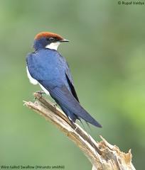 Wire Tailed Swallow (vaidyarupal) Tags: india birds aves wetlands migration avian waterbirds gujarat ahmedabad migratorybirds wildlifephotography thol canon60d vaidyarupal tholbirdsanctuary sigma150500mm rupalvaidya