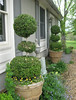 studio: triple ball boxwood topiaries (Golly Bard) Tags: garden spring topiary workspace boxwood hornbeam artanddesignstudio meyerililac
