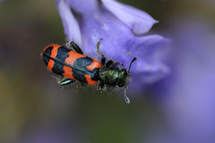 Soldier beetle (marcomes) Tags: macro nikon insects tamron 90mm animalplanet insetti soldierbeetle d90 trichodesalvearius