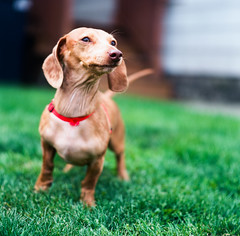 Strudel, the Ever Vigilant Dachshund (mat4226) Tags: ohio red portrait dog color cute green 120 6x6 mamiya tlr home grass closeup yard mediumformat hair puppy square long nw northwest kodak bokeh small dachshund 120film f45 greeneyes portraiture short squareformat oh pup parallax findlay bellows strudel dapple 135mm twinlensreflex c33 doxie vigilant c41 filmphotography c330 colornegative eastmankodak filmisnotdead dachzy bellowsextensionfactor