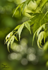 Acer - Japanese Maple (Darren Frodsham) Tags: plant tree green canon japanese maple dof bokeh depthoffield japanesemaple acer 550d canonef24105mmf4lisusm darrenfrodsham