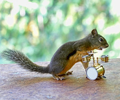 In the Band (Peggy Collins) Tags: musician canada drums squirrel britishcolumbia musical pacificnorthwest getty drummer instruments penderharbour drumkit sunshinecoast rhythm musicalinstruments girlband peggycollins squirrelpictures funnysquirrelpictures