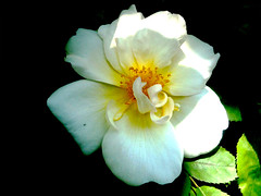 (by claire) Tags: flower london rose yellow cream rosa englishrose rosaceae