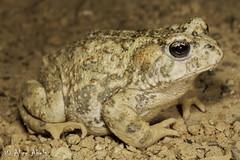 California Toad (Anaxyrus boreas halophilus) (aliceinwl1) Tags: amphibia amphibian anaxyrus anaxyrusboreas anaxyrusboreashalophilus anura bufo bufoboreas bufoboreashalophilus bufonidae ca california californiatoad chordata northamericantoad santabarbaracounty southerncaliforniatoad westerntoad boreas halophilus herp locnoone toad viseveryone