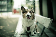 I'm Fine (moaan) Tags: park light dog smile smiling digital bench 50mm daylight corgi dof bokeh walk shade utata rest welshcorgi stroll 2012 f12 explored pochiko ef50mmf12lusm canon5dmarkiii