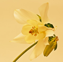 Aquilegia (Master Pedda Thanks for more than 500 000 views.) Tags: flower sweden aquilegia halland akleja thegalaxy mygearandme ringexcellence