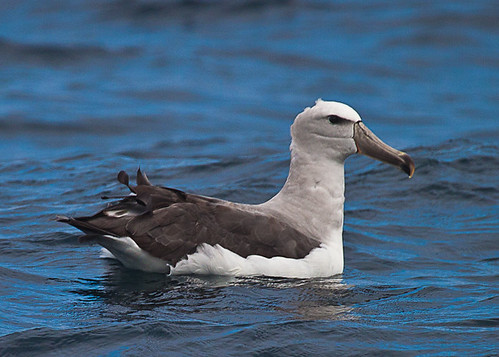 <p>One of the various species of albatross possible on the Chilean pelagic. This is a Salvin's Albatross, a species which breeds in New Zealand islands. </p>