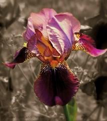 Showstopper (kelollman - Digital Captivity Photography) Tags: pink iris orange flower green yellow sepia beard weeds purple falls standards beardediris