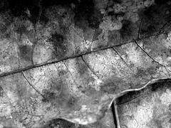 :: la belle et lente decomposition d'une feuille :: (J!bz) Tags: life voyage trip travel viaje bw naturaleza white black macro travelling planta hoja leave blanco americalatina nature monochrome america photo leaf noir guatemala negro centro central natura nb viajando vida latin latinoamerica voyager latino latina traveling blanc vie feuille viajar centrale guate viajero jbz travelphotography naturel amerique ameriquelatine jibz photodevoyage