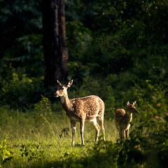 Glowing Deers! (VinothChandar) Tags: park light baby sun india green nature beautiful beauty grass rain weather forest canon photography photo glow bright photos wildlife picture pic deer national serenity serene sanctuary tamilnadu chital mudumalai mudhumalai