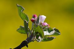unapuu hakkab itsema. (Jaan Keinaste) Tags: pentax k7 pentaxk7 estonia eesti loodus nature kevad spring unapuu iepung unapuuis malusdomestica
