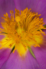 Flower Stamens (Muzby1801) Tags: macro mpe 65mm close up bugs detail wildlife extreme eyes insect colour 100mm lens canon 60d crop sensor flower stamen bbc spring watch springwatch countryfile favourite armour sharp interesting hairy hairs purple yellow pink summer autumn nature best popular beautiful creativity nice great photo 5x 4x 3x lifesize amazing times above tiny interestingness 28 f28 f4 f56 f13 f11 f8 antenna