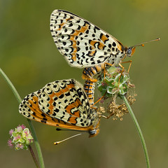 Mlites oranges (Melitaea didyma) Spotted Fritillaries (Sinkha63) Tags: france macro nature animal butterfly wildlife butterflies lepidoptera papillon mating martel fritillary pimprenelle nymphalidae midipyrnes spottedfritillary accouplement saladburnet sanguisorbaminor melitaeinae melitaeadidyma melitaea mlite incopula melitaeini didymaeformiadidyma mliteorange redbandfritillary petitepimprenelle mygearandme mygearandmepremium mygearandmebronze mygearandmesilver mygearandmegold mygearandmeplatinum rememberthatmomentlevel1 rememberthatmomentlevel2
