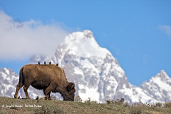 Birds Bison Grand Tetons (Explored) (Daryl L. Hunter - The Hole Picture) Tags: nature birds buffalo wildlife bluesky wyoming grandtetons bison jacksonhole grandtetonnationlpark tpslandscape