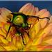 Eudicella Colmanti auf Blüte (8)