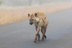 Hyena on a foggy morning (anacm.silva) Tags: africa wild nature southafrica mammal nikon wildlife natureza hyena krugernationalpark krugerpark kruger hiena mamífero áfrica predador vidaselvagem áfricadosul anasilva nikond40x