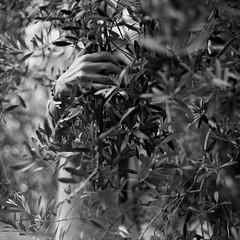 olive trees and presence (alex-malex) Tags: 100 rodinal kiev 60 80mm arista volna aleksandrapatova